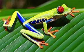How does Red-eyed Tree Frog Agalychnis callidryas embryo escape danger? –  BiOME Ecology Magazine